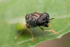 Makro- insekt ostrość przy okiem Obraz Stock