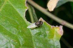 Makro- insekt ostrość przy okiem Obrazy Royalty Free