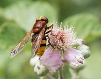 Makro- insekt: Volucella inanis fotografia royalty free