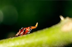 Makro- insekt z ładnym rogiem fotografia stock