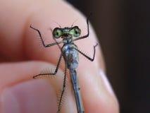 Makro-, insekta dragonfly w ręce obrazy stock