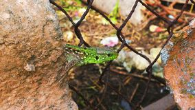 Makro- jaszczurka fotografia royalty free