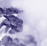 Makro-Kirschblüte-Blumen stockfotografie