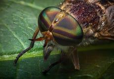 Makro- Końska komarnica Fotografia Stock
