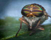 Makro- Końska komarnica Obrazy Stock