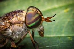 Makro- Końska komarnica Obraz Stock