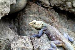 Makro- Kolorowa jaszczurka 1 Obrazy Stock