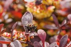 Makro- komarnica na czerwonym krzaku Fotografia Stock