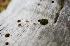 Makro- komarnica na drzewie Zdjęcie Royalty Free
