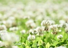 Makro- Koniczynowy kwiat fotografia royalty free