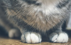 Makro- kot łapy Obraz Royalty Free