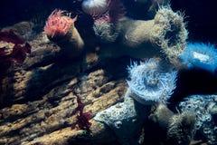 Makro- krótkopęd anemon w głębokiej wodzie zdjęcia stock