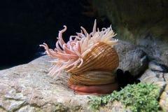 Makro- krótkopęd anemon w głębokiej wodzie zdjęcie royalty free