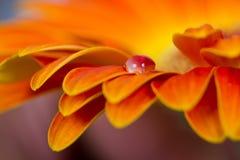 Makro- krople na pomarańczowym kwiacie Obraz Royalty Free