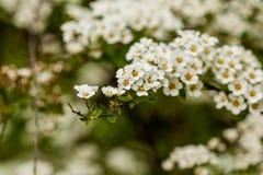 Makro- krzak mali biali kwiaty na gałąź Zdjęcia Royalty Free