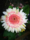 Makro- kwiat Zdjęcie Royalty Free