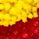 Makro- kwiat części, kolor żółty i czerwień, obrazy stock