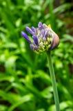 Makro- kwiatonośny agapant, agapantu praecox, po podeszczowej prysznic Tło z ostrości Zdjęcia Stock