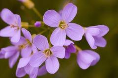 Makro- kwiatu lila Obrazy Stock