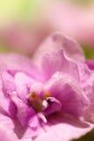 Makro- kwiatu pierwiosnek Obrazy Stock