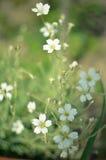 Makro- kwieciści tło bielu oferty wiosny kwiaty Fotografia Royalty Free