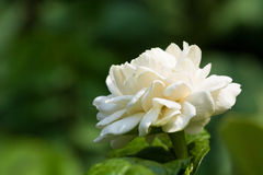 Makro- kwitnący jaśmin Fotografia Royalty Free