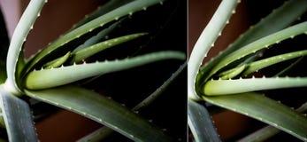Makro- liść leczniczy roślina aloes Vera facials fotografia royalty free