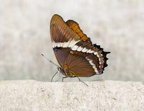 Makro-Lorquin-` s Admiral Butterfly Lizenzfreies Stockbild