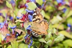 Makro målad dam Butterfly i asterblommor Arkivfoton