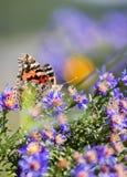 Makro målad dam Butterfly i asterblommor Royaltyfri Bild
