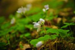Makro- Mały Białego kwiatu góry zieleni lato Obraz Royalty Free
