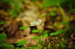 Makro- Mały Białego kwiatu góry zieleni lato Zdjęcia Royalty Free