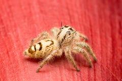 Makro- mały pająk zdjęcie royalty free