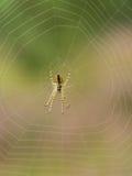 Makro- mały pająk w sieci Obraz Royalty Free