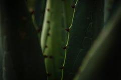 Makro- maguey roślina Obrazy Stock