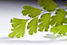 makro- maidenhair Fotografia Royalty Free