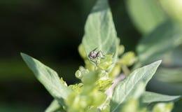 Makro- Malutka komarnica Umieszczająca na Zielonych liściach Obrazy Royalty Free