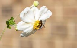 Makro- Malutkiego Hoverfly Helophilus fasciatus Zbieracki Pollen Zdjęcie Stock