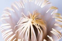 Makro- Matcha herbaciany śmignięcie Fotografia Stock