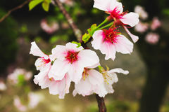 Makro- menchii i bielu gałąź okwitnięcie menchii Sakura drzewo Zdjęcie Royalty Free