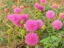 Makro-: Mimozy nuttallii Nuttall brier, catclaw brier lub wyczulony brier, roślina wyczulona Podrodzina Mimosoideae fotografia stock