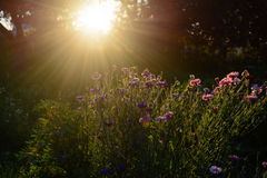 Makro mit einer dekorativen wilden Feldblume auf Hintergrund des bewölkten Himmels mit Sonnenuntergang stockfotografie
