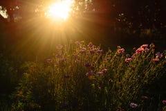 Makro mit einer dekorativen wilden Feldblume auf Hintergrund des bewölkten Himmels mit Sonnenuntergang Lizenzfreie Stockbilder