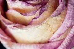 Makro mit violetter Blume stieg, Nahaufnahmeblumenblätter E Entziehen Sie Blumenhintergrund Arbeit copyspace für Text stockbilder