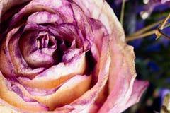 Makro mit violetter Blume stieg, Nahaufnahmeblumenblätter E Entziehen Sie Blumenhintergrund Arbeit copyspace für Text stockfotografie