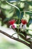 Makro- mknący czerwieni i białych kwiaty Zdjęcie Royalty Free