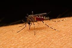 Makro Moskito Aedes aegypti saugenden Bluts nah oben auf Lizenzfreie Stockfotos