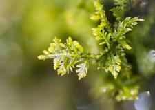 Makro Moss Detail Arkivbild