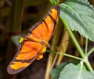 Makro- motyl: Dryas iulia obrazy royalty free