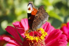 Makro- motyliego pawiego oka zbieracki nektar na cyniach Zdjęcia Stock